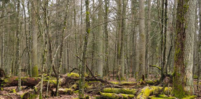 Puszcza Białowieska drzewa