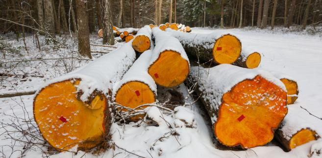 Puszcza Białowieska wycinka