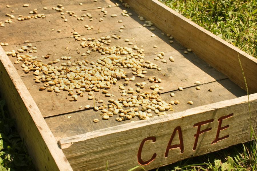 KAwa Colombian Green, tradycyjna metoda suszenia kawy. Fot. Shutterstock